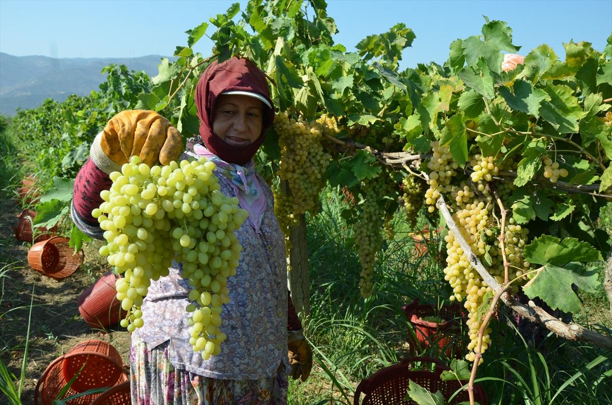 Aydın'ın Koçarlı ilçesinde, çekirdeksiz sultani üzüm hasadına başlandı. 20200825 2 44039747 57652577 Web