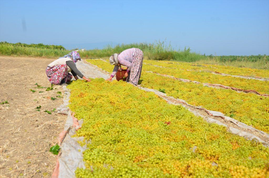 Aydın'ın Koçarlı ilçesinde, çekirdeksiz sultani üzüm hasadına başlandı. 20200825 2 44039747 57652579 Web