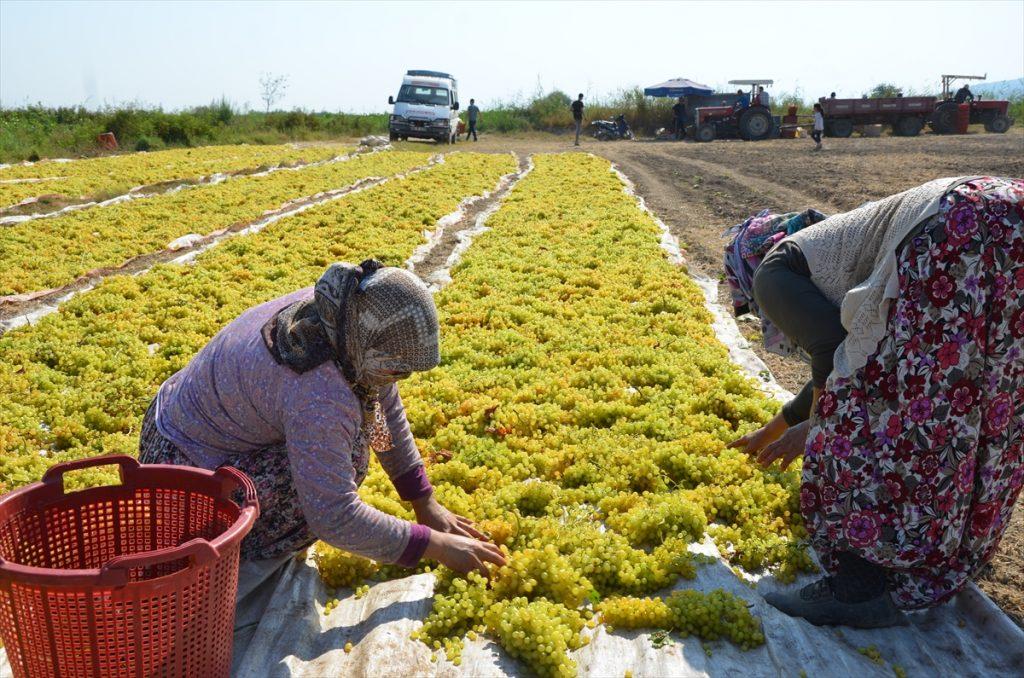 Aydın'ın Koçarlı ilçesinde, çekirdeksiz sultani üzüm hasadına başlandı. 20200825 2 44039747 57652580 Web